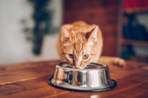 Un chat qui mange dans sa gamelle
