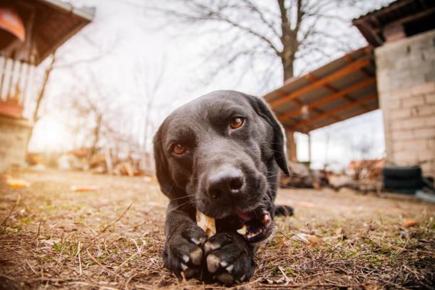 Un chien qui ronge un os